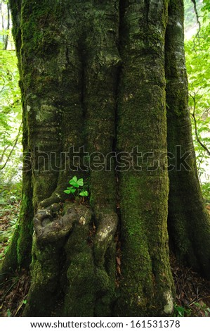 A huge tree with bright green moss on the trunk of it. - stock photo