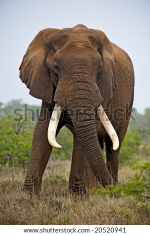 A huge tusker looms over the photographer