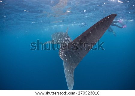 A huge Whale shark (Rhincodon typus) swims near the surface of the sea. This species is the largest fish in the world and is found throughout tropical and subtropical waters worldwide. - stock photo