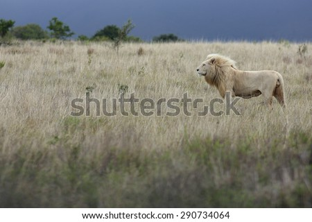 A huge white lion isolated in an open field of dry khaki grass. South Africa - stock photo