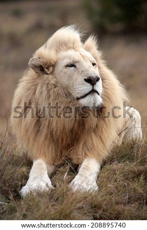 A huge white lion lying down in this portrait. South Africa - stock photo