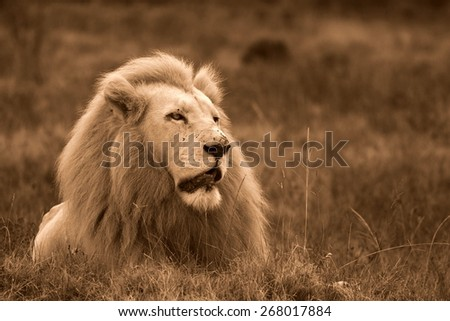 A huge white lion lying down in this portrait. South Africa.