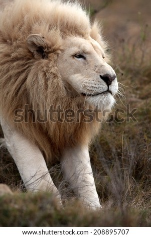 A huge white lion stretches in this portrait. South Africa