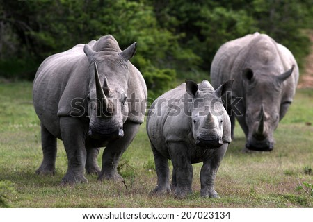 A huge white rhino / rhinoceros bull, cow and calf in this image. - stock photo
