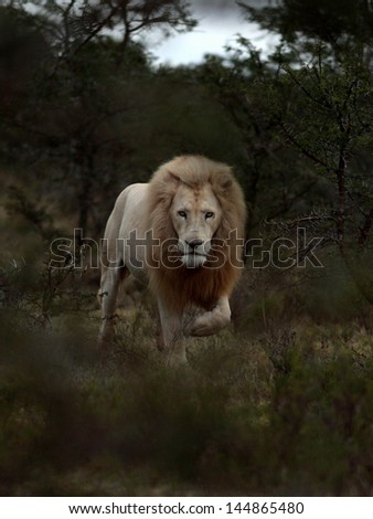 A huge wild male white lion walks through the bush towards the camera during a safari in the eastern cape,south africa - stock photo