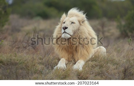 A huge wild white male lion with a very impressive mane sits proudly while smelling the air.
