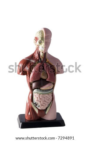 a human body on a white background - stock photo
