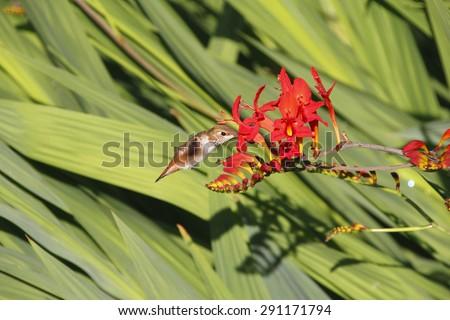A Hummingbird reaches deep into a Crocosmia to extract nectar/Hummingbird Feeding/A Hummingbird reaches deep into the flower's pistil to extract nectar.  - stock photo