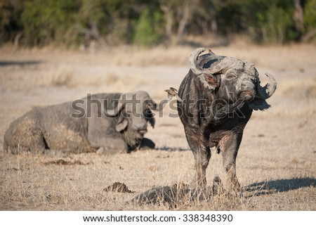 A humorous colour image of two Cape buffalo bulls, Syncerus caffer, one muddied and resting in the background, the other shaking his muddied face, at Sabi Sands Game Reserve, South Africa. - stock photo