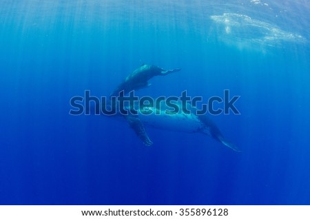 A humpback mother and calf pair swims in the Indian Ocean off Reunion Island during their yearly migration