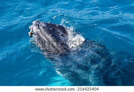 A Humpback whale at Hervey Bay queensland august this year breaching - stock photo