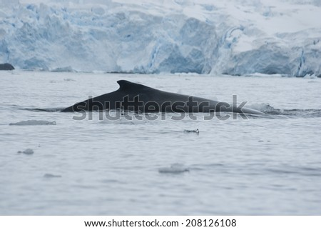 A humpback whale in the Southern Ocean - stock photo