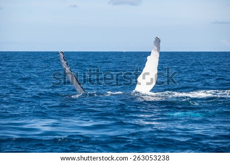 A Humpback whale (Megaptera novaeangliae) raises its pectoral fins out of the Atlantic Ocean. This endangered cetacean migrates from the Northern Atlantic to the Caribbean each winter to breed. - stock photo