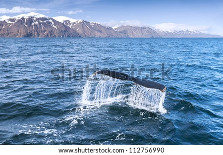A humpback whale's tail in the ocean. - stock photo