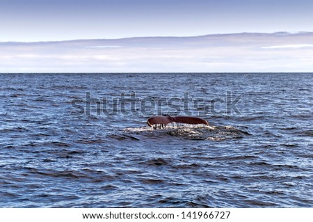 A Humpback Whale. The black tail of a humpback whale in the sea.