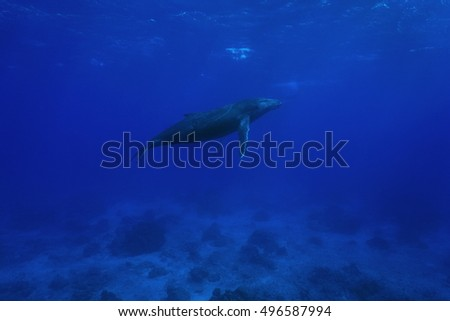 A humpback whale underwater, Megaptera novaeangliae, Pacific ocean, Rurutu, Austral islands, French Polynesia