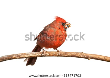A hungry cardinal eats a sunflower seed. The seed, partly chewed, falls from its beak, white background