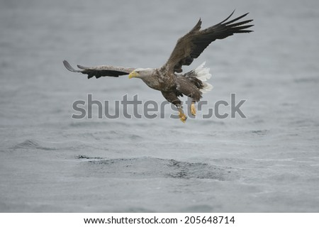 A hunting Sea Eagle glides inches above the water surface on its approach to its prey. - stock photo