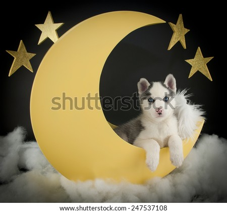 A husky puppy laying in a crescent moon with clouds and stars around him on a black background. - stock photo