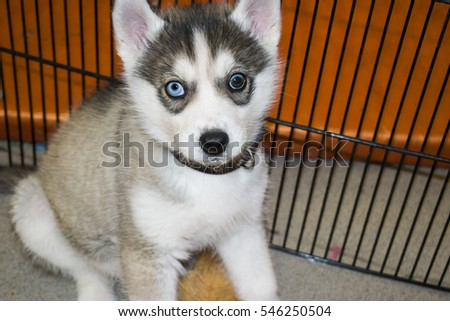 A husky puppy with different colored eyes is sitting in a cage