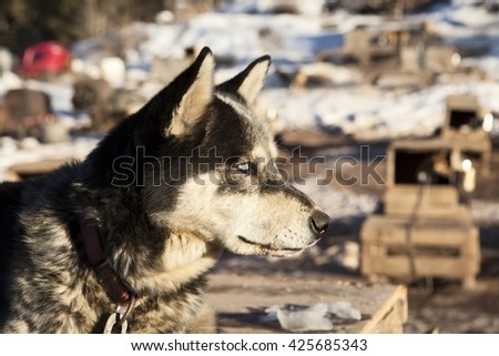 A husky sled dog listening alertly to other dogs in the kennel in the background. The white eyes are a natural result of the merle gene in huskies which changes the pigmentation of the eye.