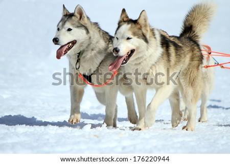 A husky sled dog team at work with tongue outside by winter day