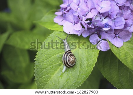 A hydrangea and a land snail - stock photo