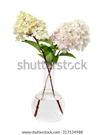 A hydrangea in the glass  flask isolated on a white