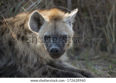 A Hyena rests after a night hunting - stock photo