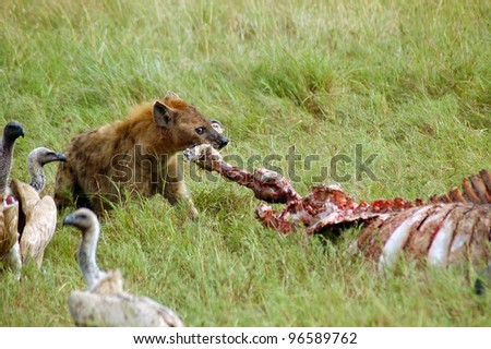 A hyena tearing the leg off a buffalo carcass watched by vultures - stock photo