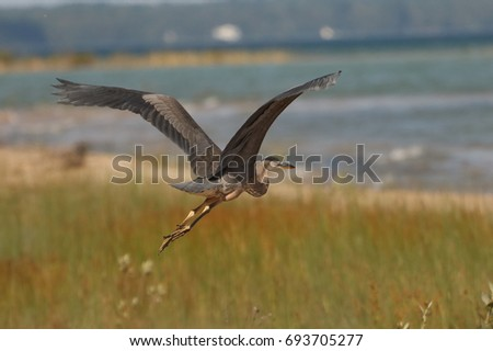 A immature Great Blue Heron in flight.