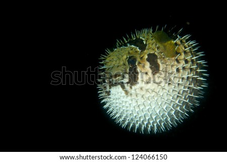 A inflated porcupine puffer balloon fish in the black background in Cebu Philippines - stock photo