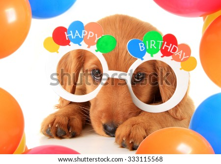A Irish setter puppy wearing Happy Birthday eye glasses. - stock photo