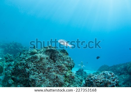 A jack fish around a thriving tropical coral reef, Palawan.