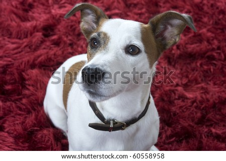 a jack russel terrier on a red carpet
