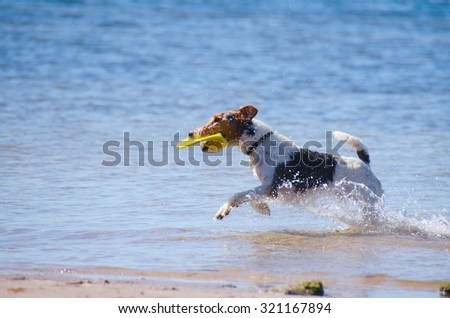A Jack Russel Terrier running with a frisbee running through the water at the beach on a sunny morning. - stock photo