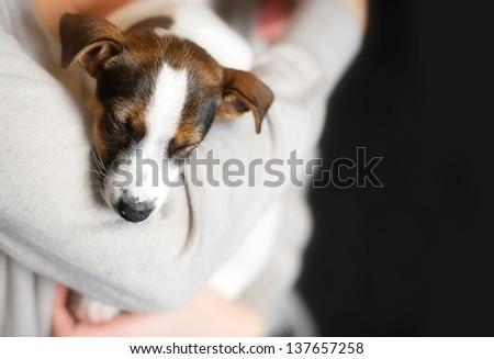 a Jack Russell terrier puppy dog sleeping in the hands of owners - Background  - stock photo