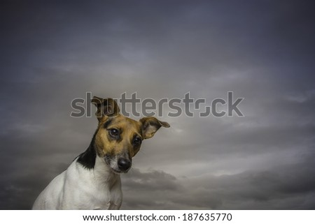 A Jack Russell Terrier with an inquisitive expression, sitting in a studio.  - stock photo
