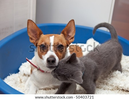 A Jack Russell terrier with pointy ears looks towards the camera as she is nuzzled by her kitten friend in a basket.