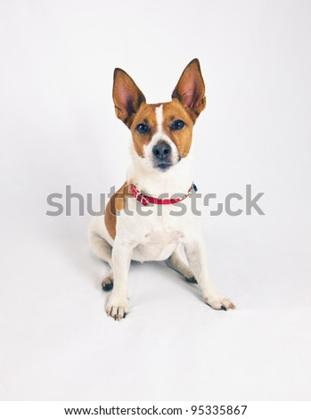 A Jack Russell terrier with pointy ears on a white background.