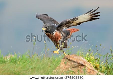 A jackal buzzard (Buteo rufofuscus) on a rock, South Africa - stock photo