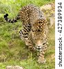 A Jaguar (panthera onca) stalking prey, looking into the camera - stock photo