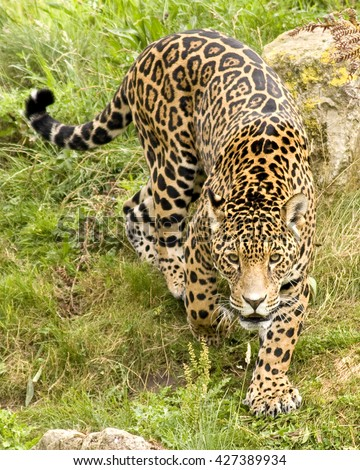 Food habits of sympatric jaguars and pumas across a gradient of human disturbance
