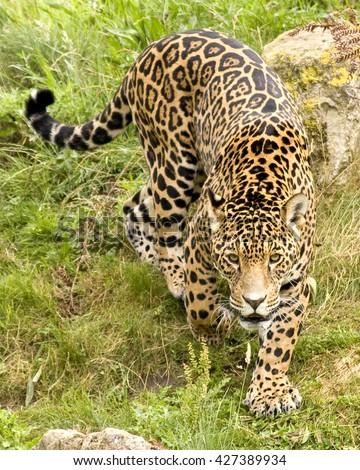 Food habits of sympatric jaguars and pumas across a gradient of human disturbance