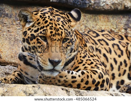 A jaguar (Panthera onca), which are native to Amazon jungle of South America