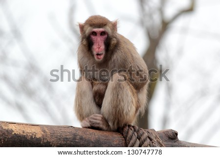 A japanese macaque grimaces with his tongue out sitting on a log - stock photo