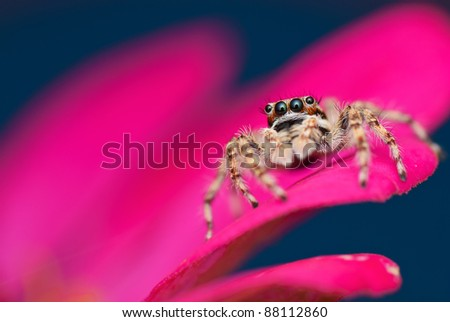A jumping spider - stock photo