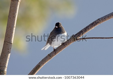 A junco sits the fork of two trees branches peering to side in search of food. Light green tree leaves along with the blue sky create a pastel background for this tiny snowbird.