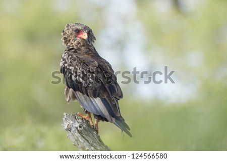 A Juvenile Bateleur Eagle perched in South Africa's Kruger Park - stock photo