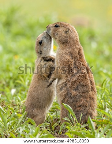 A juvenile Black-tailed Prairie Dog gently shows its mother some affection.